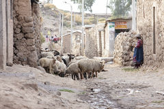 Women who are with their sheep in the barn. Scenes of working life in a small village lost in the Colca Canyon in Peru royalty free stock image