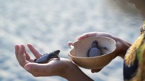 Turtle sanctuary. Women with wooden bowl in hands take newborn turtles on handbrede, ,turtle  sanctuary hatchery located on the beach stock video