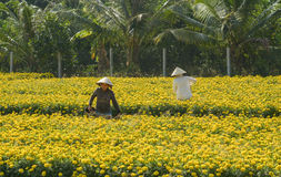 Women work on the flower fields in Mekong Delta, southern Vietnam Royalty Free Stock Images