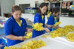 Women work at the orchid farm in Samut Songkram, Thailand. Stock Photography