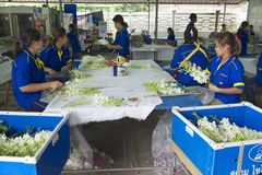 Women work at the orchid farm in Samut Songkram, Thailand. Stock Photo