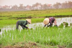 Women work on The rice field in Hoi an royalty free stock photography