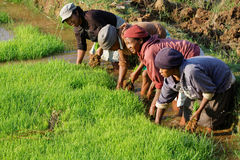 Women at work in the rice fields Stock Photography