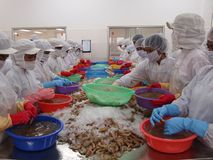 Women work on a shrimp farm royalty free stock photo