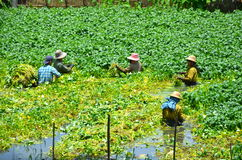 Women work in the watercress paddy Royalty Free Stock Photo