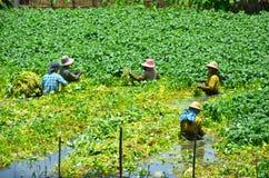 Women work in the watercress paddy. Yangon Royalty Free Stock Photo