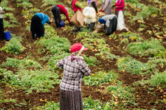 Women workers harvesting Stock Image