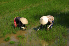 Women workers planting rice on a paddy field Stock Photography