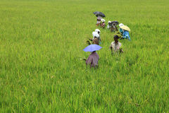 Women workers transplanting the rice seedlings Stock Photo
