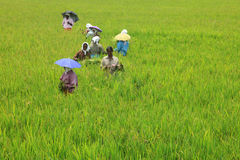 Women workers transplanting the rice seedlings Royalty Free Stock Images