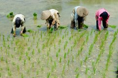 Women workin on rice field Royalty Free Stock Photo