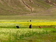 Women working on in the field, Tibet, China stock photo