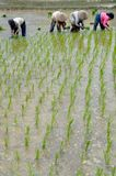 Women working on rice field 02 Royalty Free Stock Photography