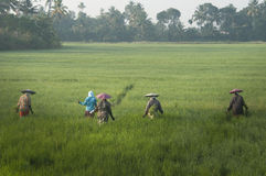 Women working in a rice field in India Royalty Free Stock Image