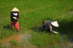 Women working on a rice paddy field in Vietnam Royalty Free Stock Image