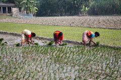 Women working in rice plantation Stock Photos