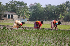 Women working in rice plantation Royalty Free Stock Images