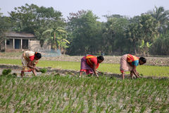 Women working in rice plantation Stock Photo