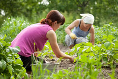 Women working in  vegetable garden Stock Image