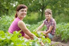 Women working in  vegetable garden. Two women working in her vegetable garden Stock Image