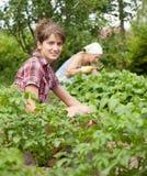 Women working in  vegetable garden. Two women working in her vegetable garden Royalty Free Stock Image