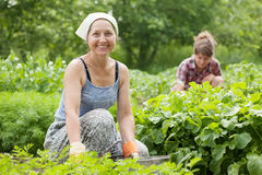 Women working in  vegetable garden. Two women working in her vegetable garden Stock Photography