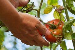 Women& x27; ramo della tenuta del braccio di s dei pomodori nostrani maturi rossi che crescono in un orto il giorno soleggiato Fotografia Stock