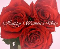 Womens day card. Red roses in drops closeup isolated on pink background royalty free stock photography