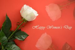 Womens Day card. White roses on red background royalty free stock images