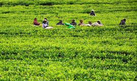 Womn from Sri Lanka rest in tea plantation. Royalty Free Stock Images