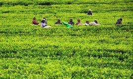 Womn van de rust van Sri Lanka in theeaanplanting. Royalty-vrije Stock Afbeeldingen