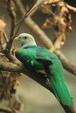 Wompoo fruit dove Stock Images