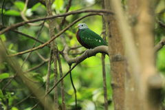 Wompoo fruit dove Stock Photo