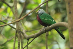 Wompoo fruit dove Royalty Free Stock Image