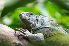 He won't see me if I don't move. Close-up of a Green Iguana on a dead branch Royalty Free Stock Images