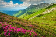 Magical pink rhododendron flowers in the mountains, Bucegi, Carpathians, Romania. Wondeful summer landscape, spectacular colorful pink rhododendron mountain stock photography