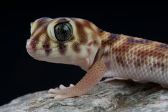 Wonder gecko. The wonder or frog-eyed gecko, Teratoscincus scincus, is found from the Arabian Peninsula in the countries of Qatar, United Arab Emirates and Oman Stock Photography