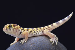 Wonder gecko (Teratoscincus scincus) Stock Photos
