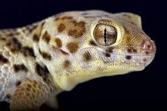 Wonder gecko  (Teratoscincus scincus) Royalty Free Stock Photo