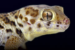 Wonder gekko (Teratoscincus-scincus) royalty-vrije stock foto