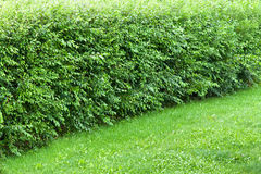 Wonder hedge bushes at the edge of lawn Stock Photos