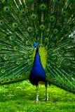 Wonder peacock Stock Photos
