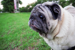 Wonder Pug dog on green grass in the evening. Wonder Pug dog on green grass in the evening time at garden Stock Images