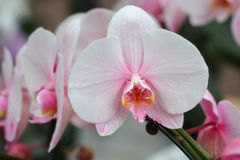 Wonder van de Phalaenopsisorchidee Roze stock afbeelding
