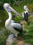 Wonder van pelikanen Stock Afbeeldingen
