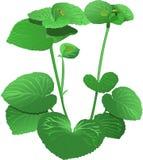 Wonder viooltje Royalty-vrije Stock Fotografie