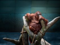 Wonder what`s for lunch. Brookfield Zoo Orangutan, Chicago, Illinois royalty free stock images