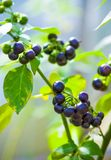Wonderberry or Sunberry Stock Images