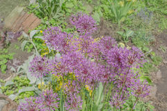 Wonderful allium giganteum Stock Images