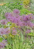 Wonderful allium giganteum Stock Image